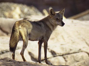mogollon mountain wolf