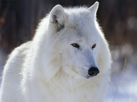 wolves of the world   baffin island wolf   canis lupus