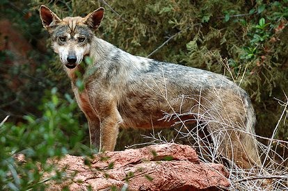 The Indian Wolf Canis_indica