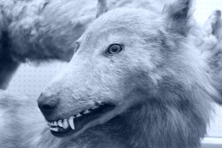 Hokkaido Wolf - Canis lupus hattai