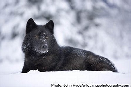 WOLVES: Most Common Breeds  Canis_lupus_ligoni_01