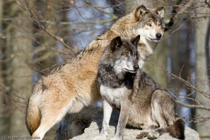 Eastern Timber Wolf - Canis lupus lycaon