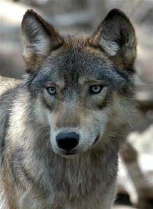 The great plains wolf preys on white-tailed deer, moose, snowshoe hare