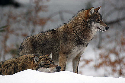 Great Plains Wolves