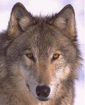 Common Gray Wolf
