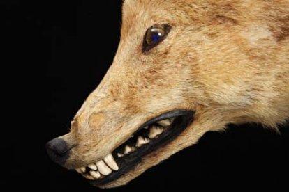 Honshu Wolf - Canis lupus hodophilax