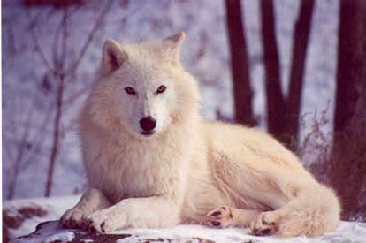 what is a gray wolves habitat