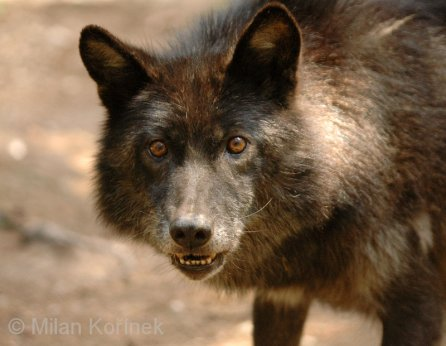 Wolves of the world interior alaskan wolf canis lupus pambasileus interior alaskan wolf sciox Images