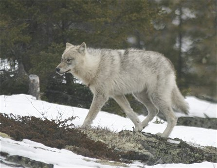Labrador Wolf in Quebec