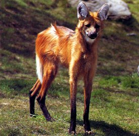 Maned Wolf on hillside
