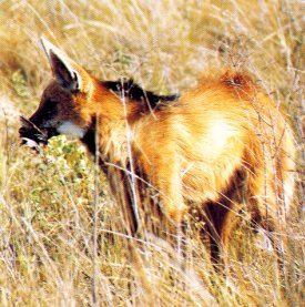 Maned Wolf in meadow