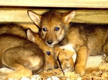 Red Wolf Pups at 5 weeks - Chattanooga Nature Center, Tennessee