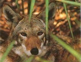 Red Wolf in Brush