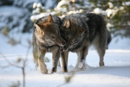 Russian Wolves (Canis lupus campestris)