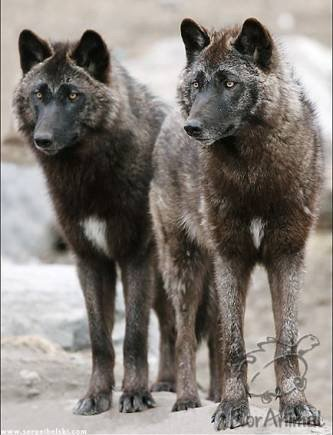 Steppe Wolves (Canis lupus campestris)