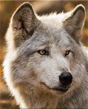 Apollo's Vet Info Tundra_wolf00