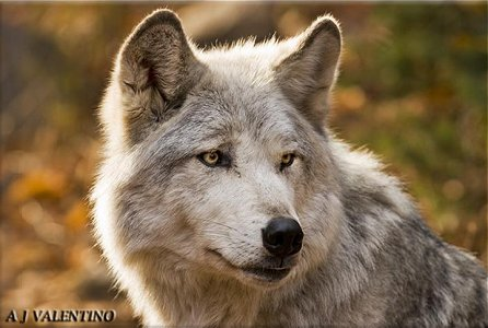 Tundra Wolf - Canis lupus albus