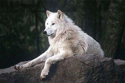 [Fenic of Sardothien] Tundra_wolf02a