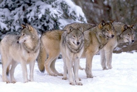 European Commmon Grey Wolf (Canis lupus lupus)