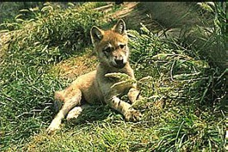 Grey Wolf Pup (Canis lupus lupus)